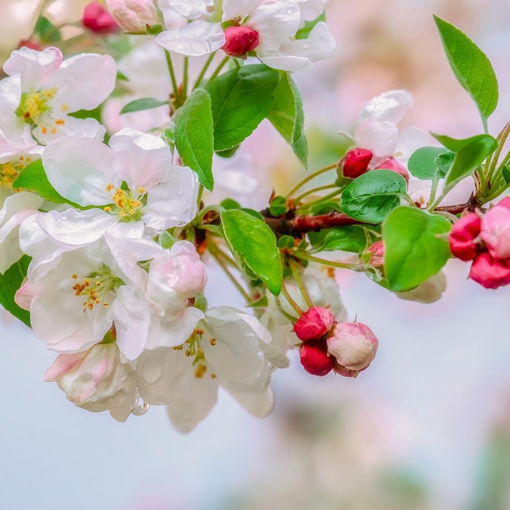 Bienenfreundliche Apfelblüten
