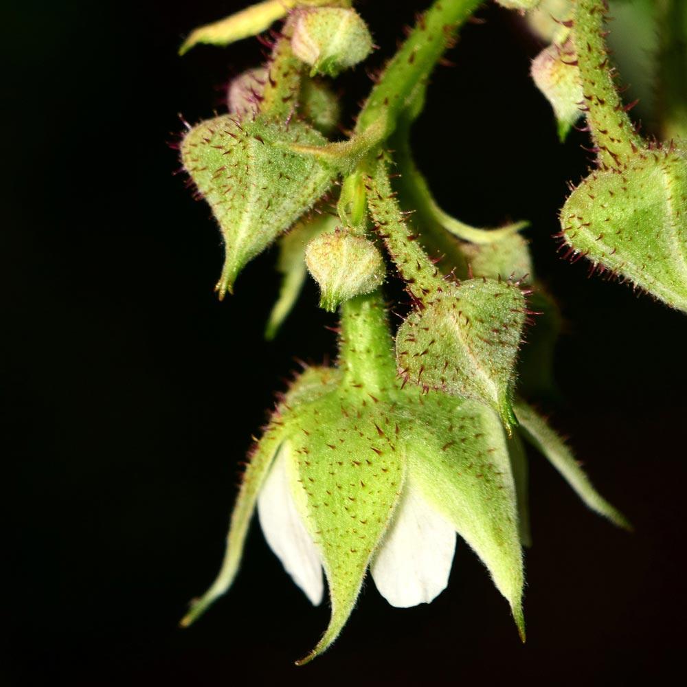 Bienenfreundliche Himbeere