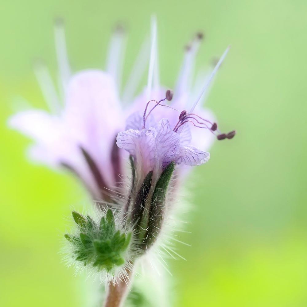 Bienenfreundliche Phacelia