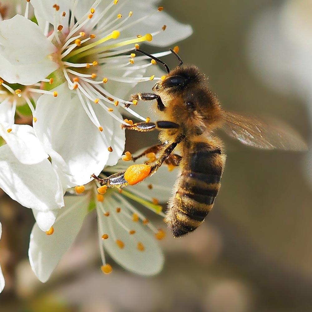 Bienenfreundliche Schlehe