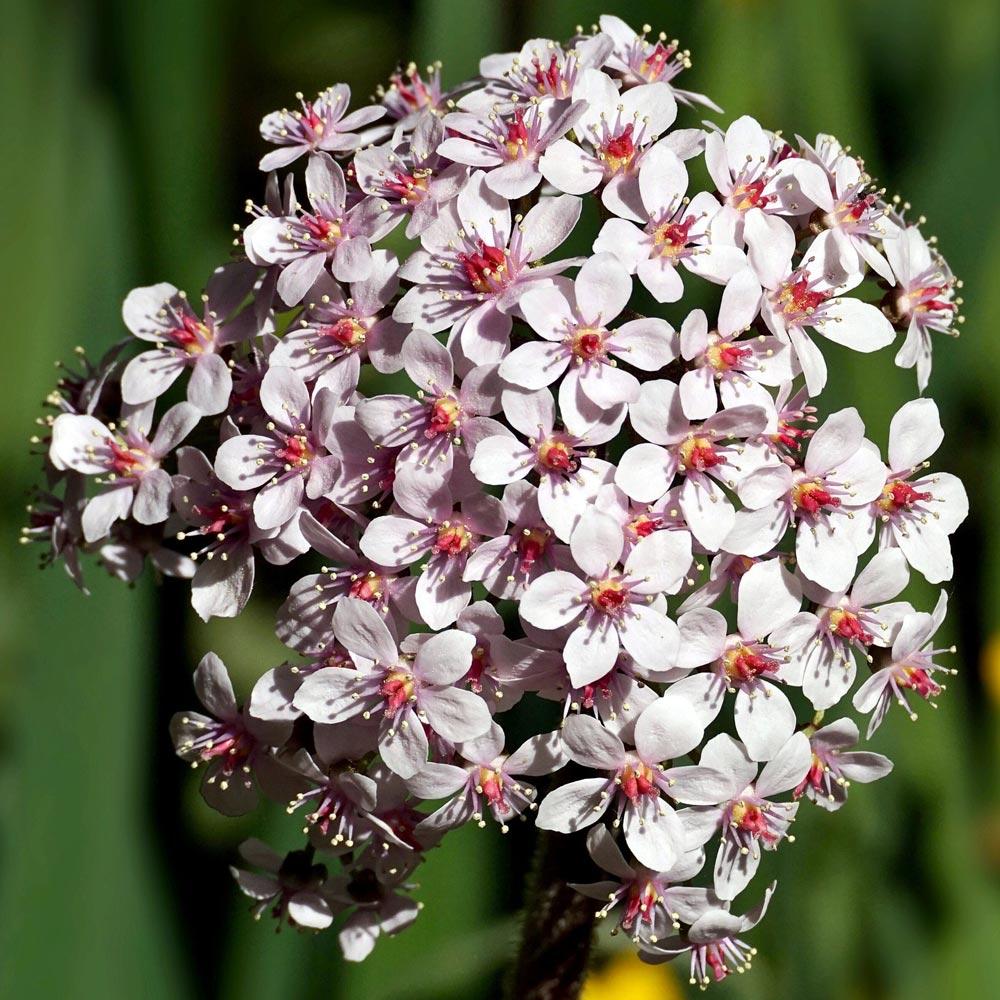 Bienenfreundliche Seidenpflanze