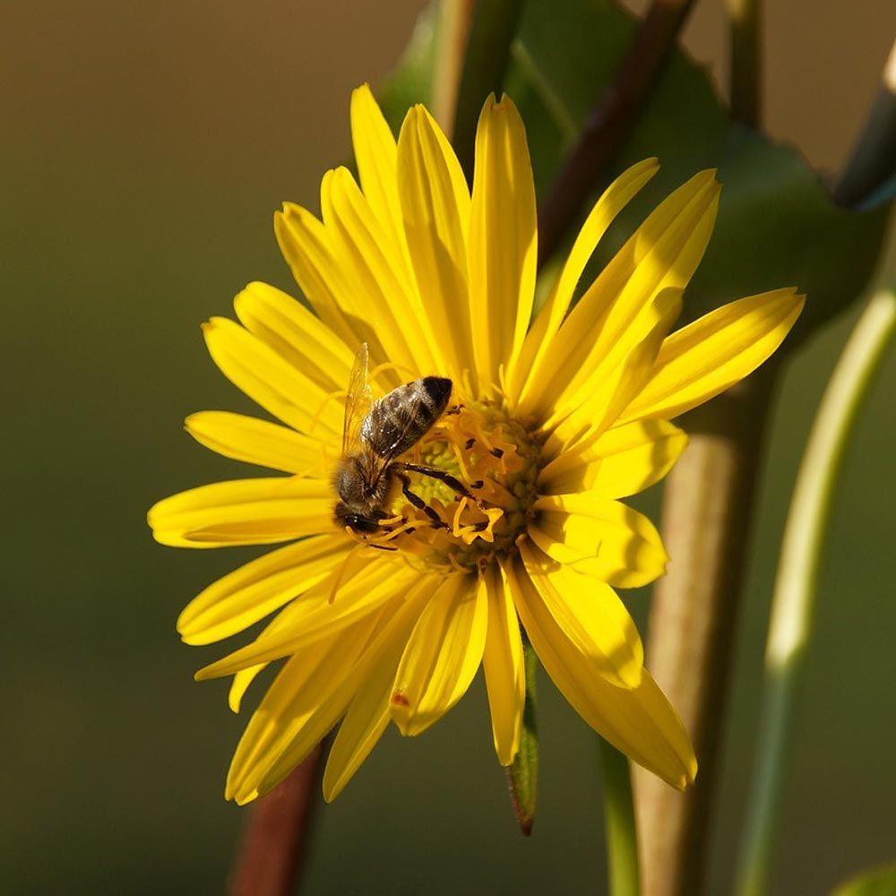 Bienenfreundliche Silphie