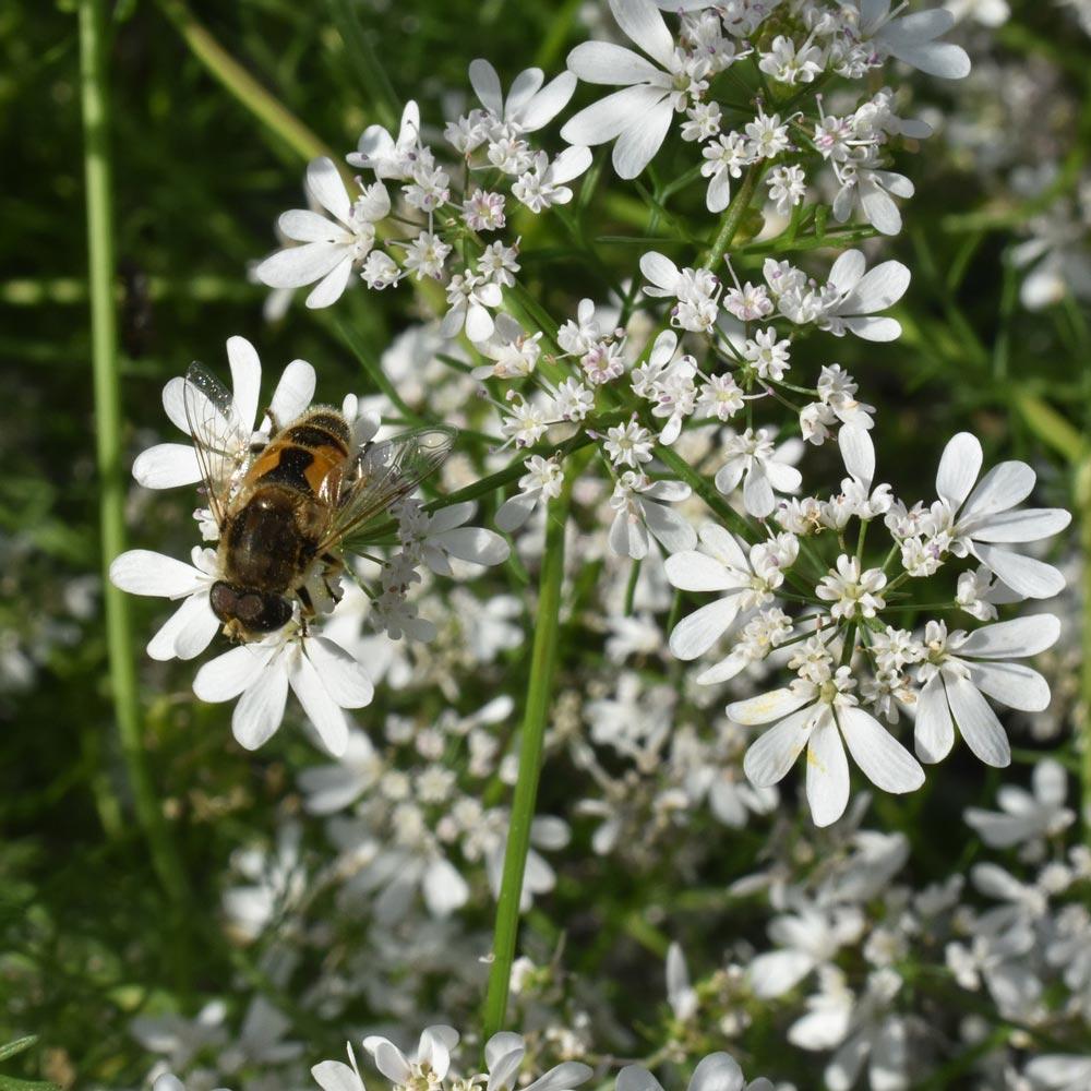 Bienenfreundlicher Koriander