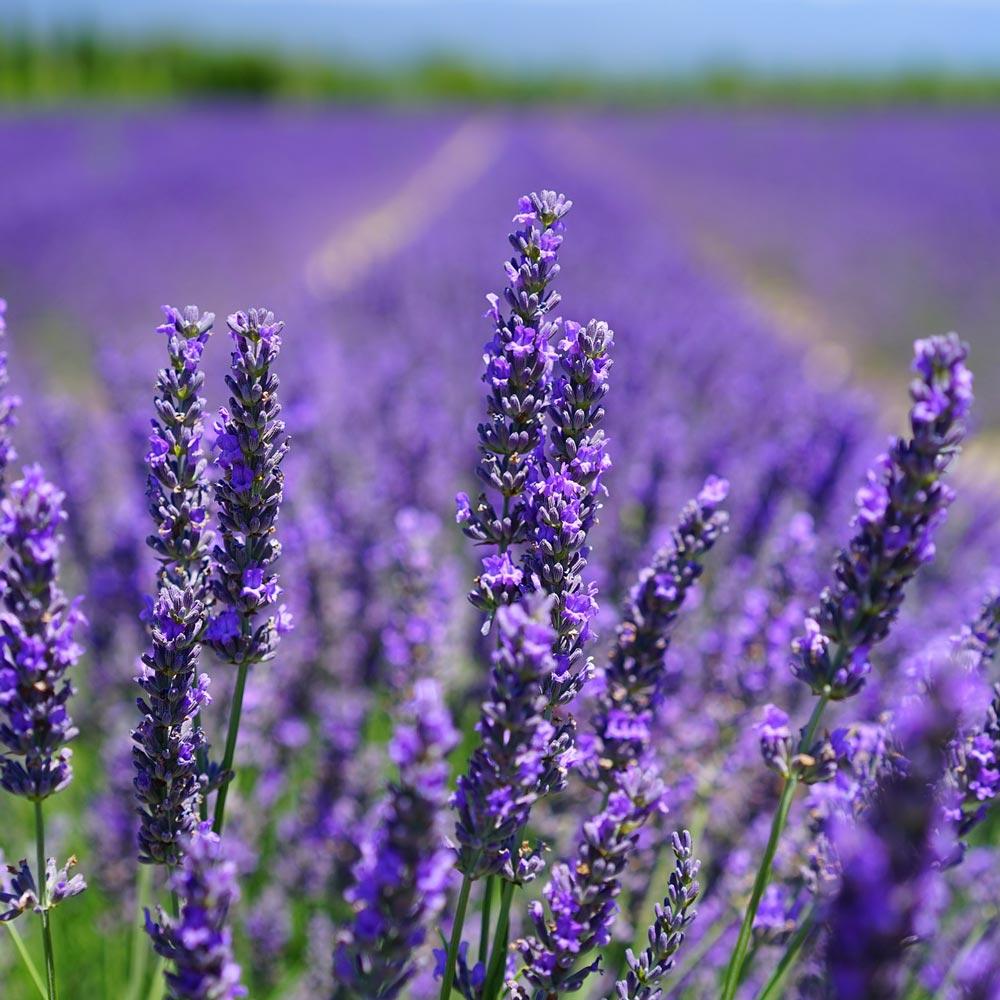 Bienenfreundlicher Lavendel